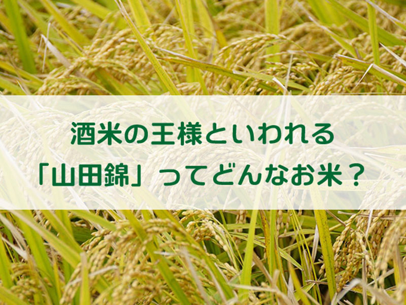 酒米の王様といわれる「山田錦」ってどんなお米?